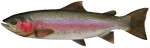 Rank: Rainbow Trout